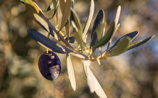 New Life for Viva Olives